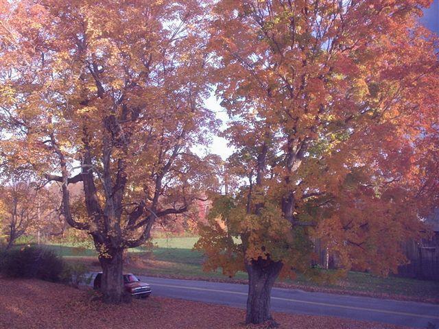 Algunos de nuestros hermosos arces en otoño