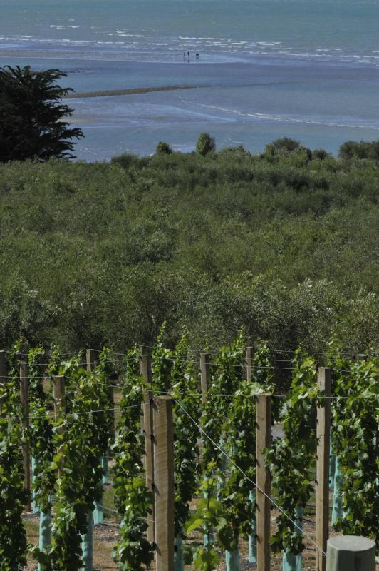 Vineyard and olive grove view