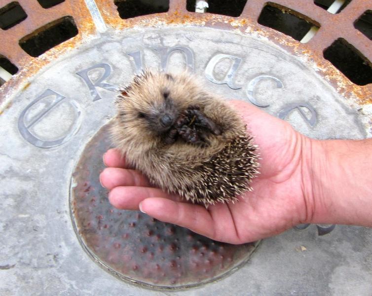 Erinaceus = hedgehog = Kina = urchin