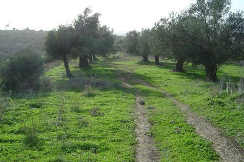 olives grove in Ein Hod