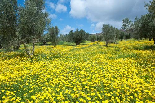 olives grove in March