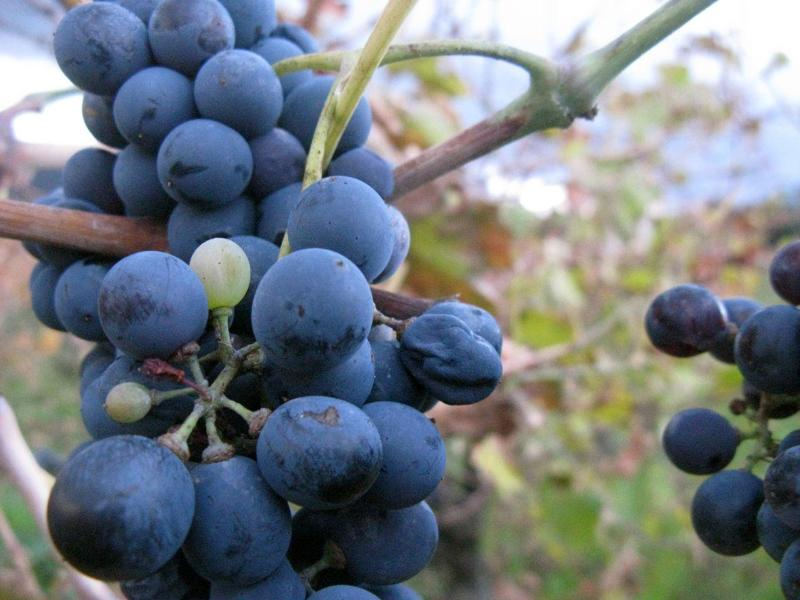 grapes for Languedoc wine,  the best wine in the world