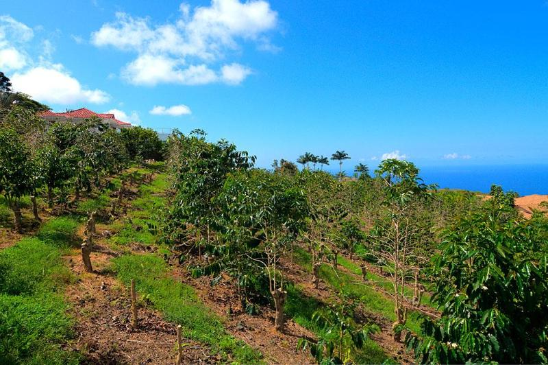 Kona View Coffee - It likes to be pruned - get sun, rain and have a great view!