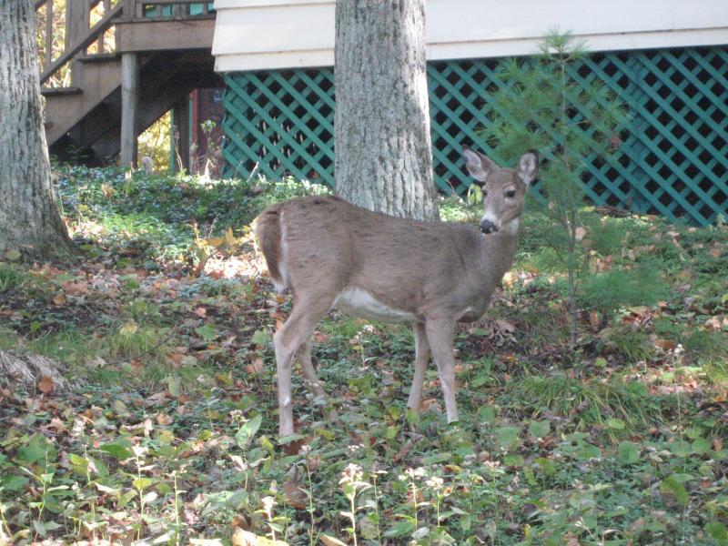 Sherwood Forest Cottage View - Deer