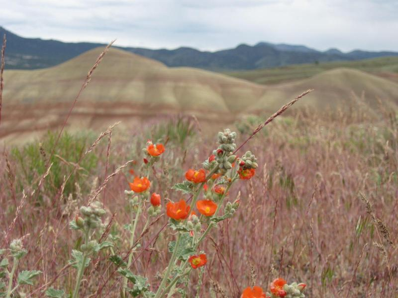Painted Hills Wild FLowers