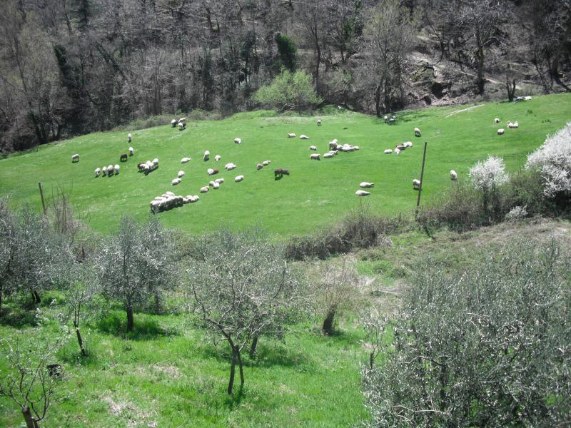 Weergave van grazende schapen en olijfboomgaard