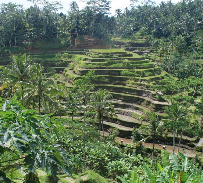 rice padies