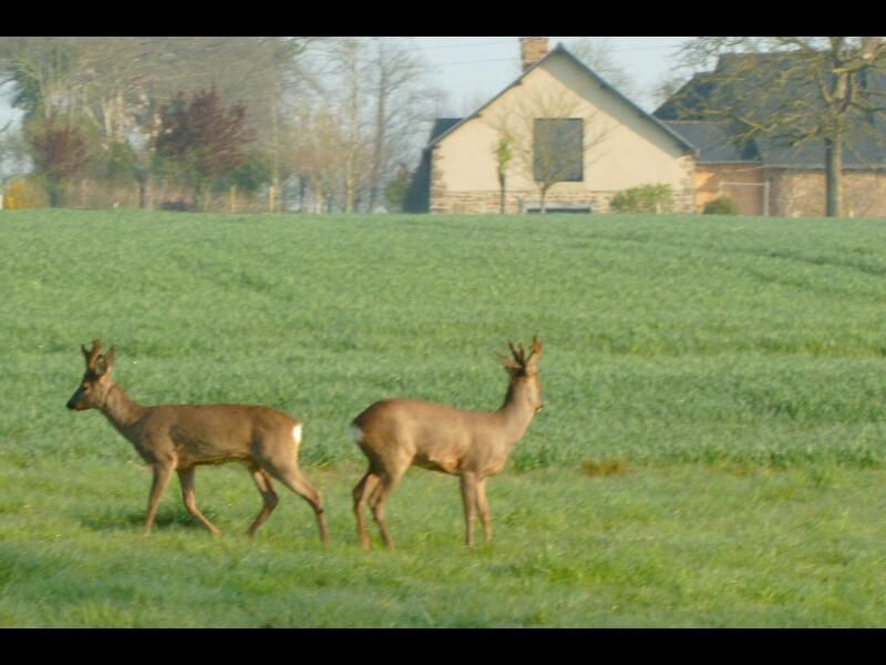 Wild roe deers next to our house
