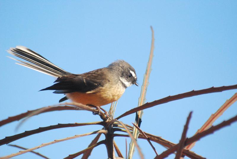 Extensas plantaciones nativas atraen aves