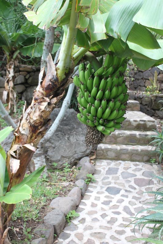 Bananas grow all over the property
