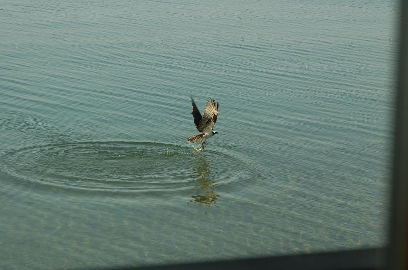 Águila pescadora de caza como vimos desde el pasaje.