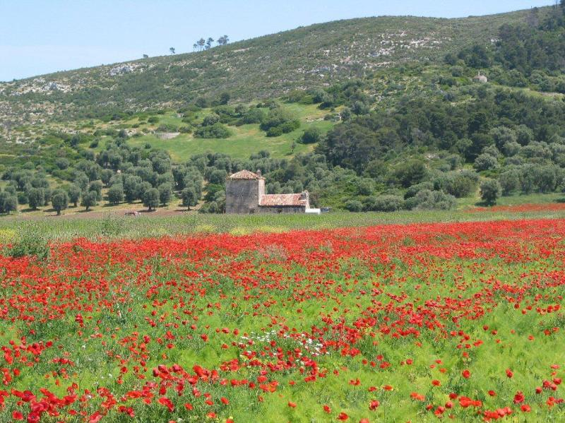 Calenella Poppies