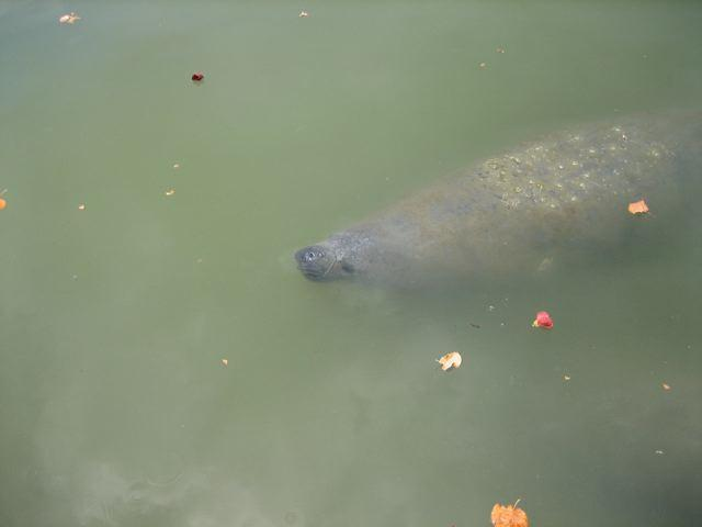 Manatee in our bay