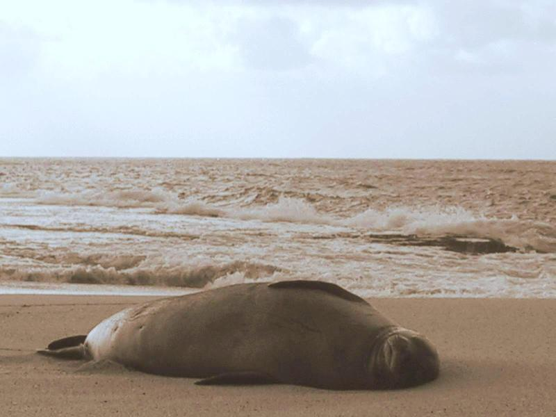 Endangered Monk Seal! Often seen on the beach behind the cottage!