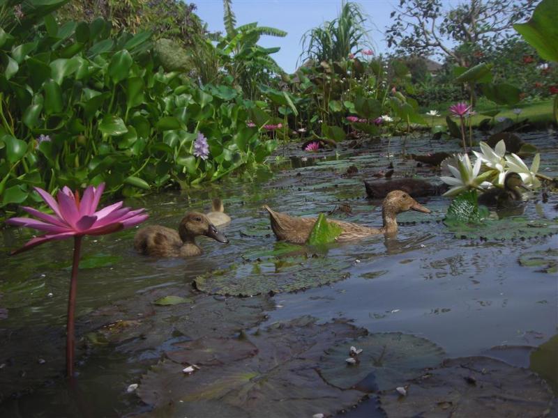 canards dans l'étang de lotus