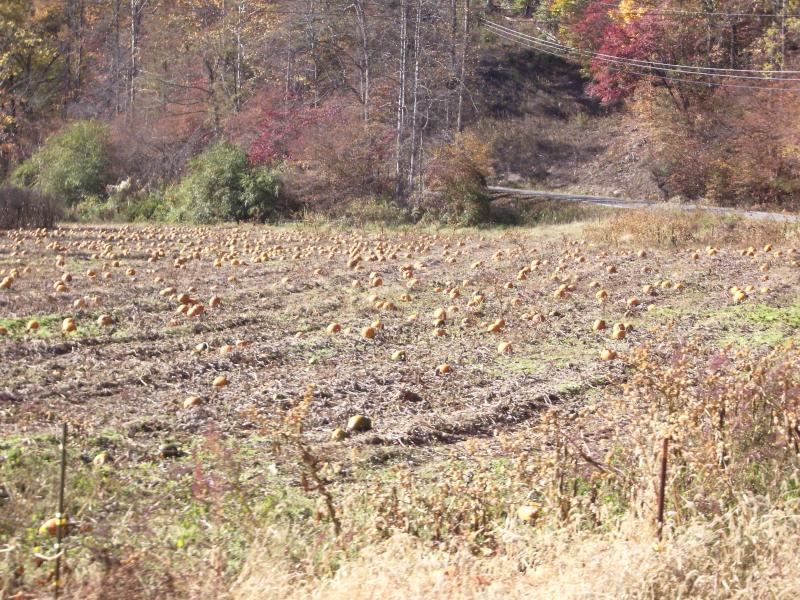 Abóboras no outono o passeio Fox executar