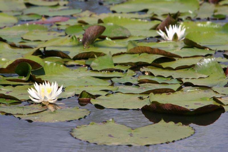 Lily pads on the Choctawhatchee River