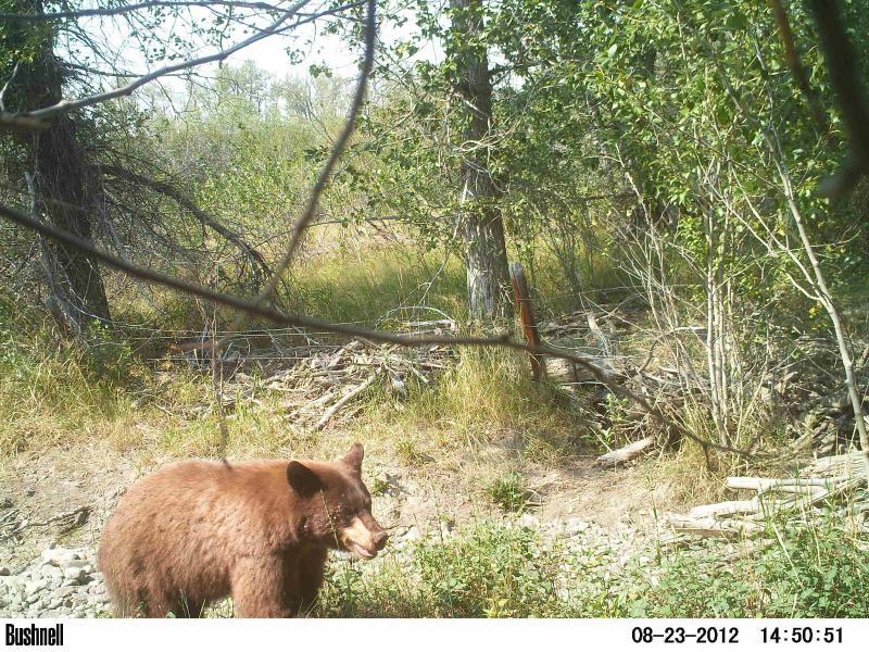 ¡Escurridizo oso de canela visto con cámara nocturna!