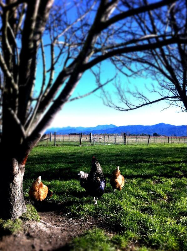 Free range chickens foraging amongst the plum trees