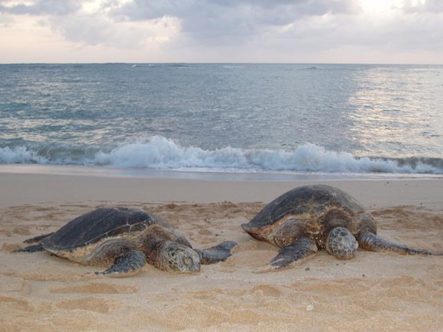 Turtles on the beach by the villas