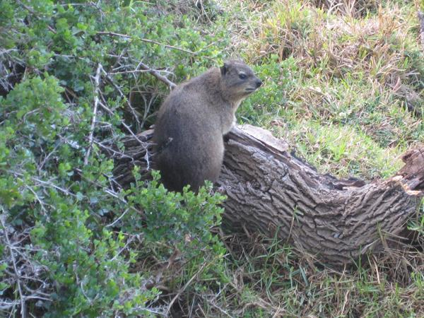 Photo taken of Dassie on log at northern edge of the garden before the caracals came. .