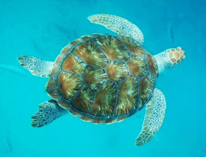 Hawksbill Turtle off Turtle Beach.