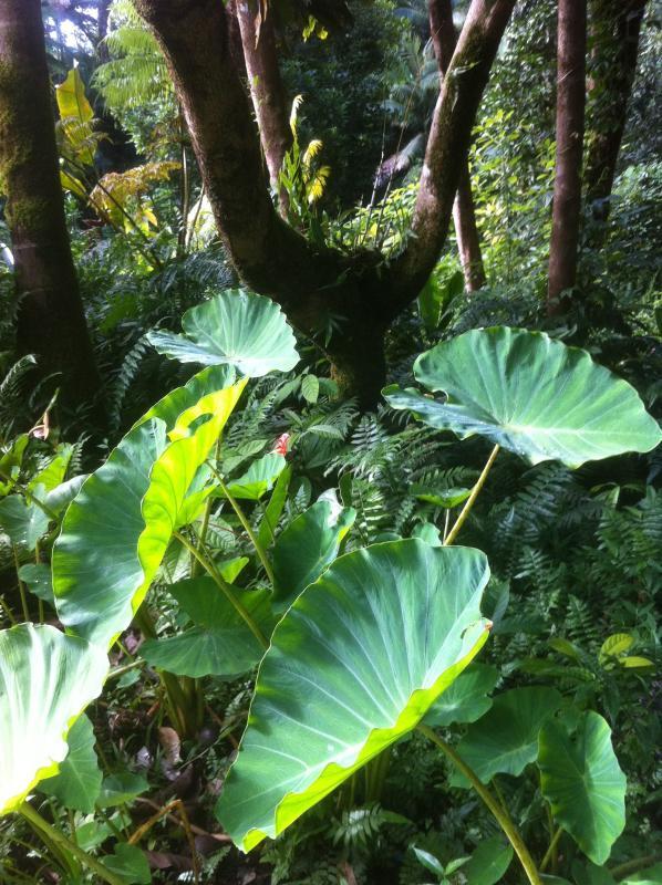 Enjoy native plants in garden (Hawaiian Taro)