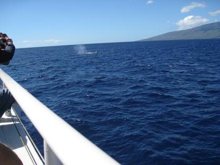 Observation des baleines depuis un bateau au large de Laheina. Nov - fév baleines à bosse sont partout maintenant.