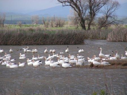 Snow geese in the Sacramento National Wildlife Refuge