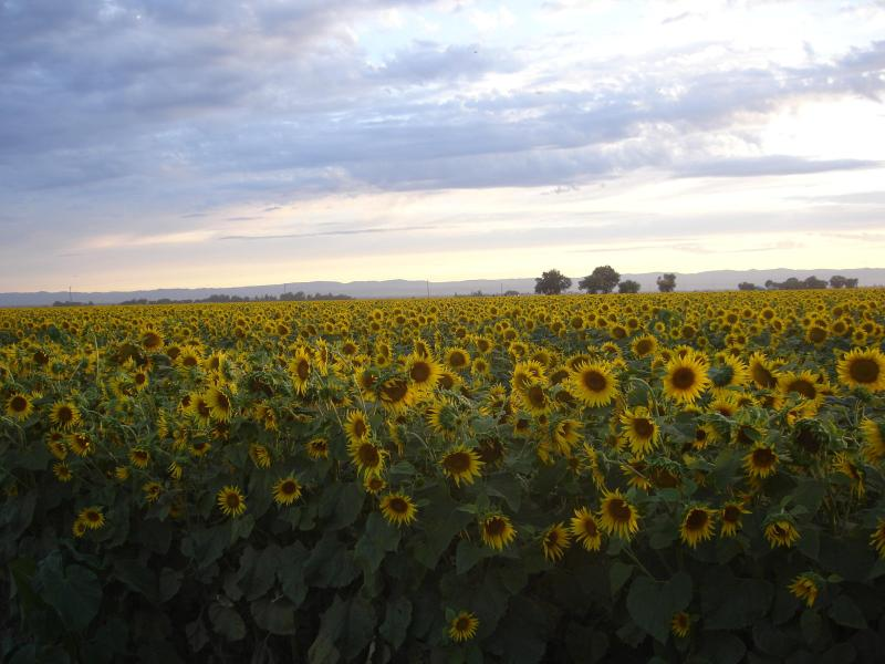 Sunflowers in August