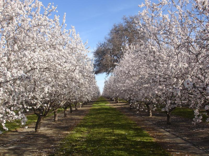 Almond blossoms in March, an important area crop and a spectacular site along miles of local roads