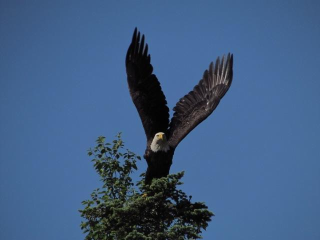 Bald eagle - viewed during Rugged Beauty Boat Tour