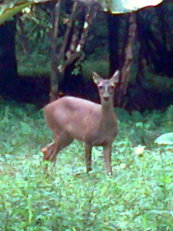 White Tail Deer on a frequent visit to Villa Encantada