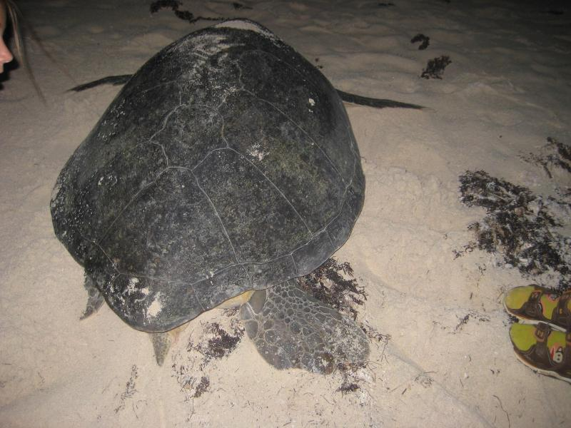 turtle returning to sea after laying and burying eggs
