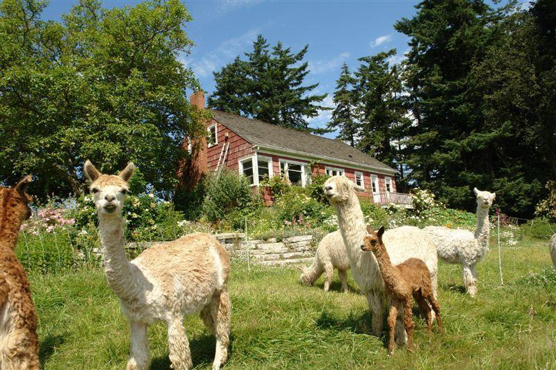 Maxwelton Aerie Alpaca Ranch  - Suri alpaca in pasture near farmhouse