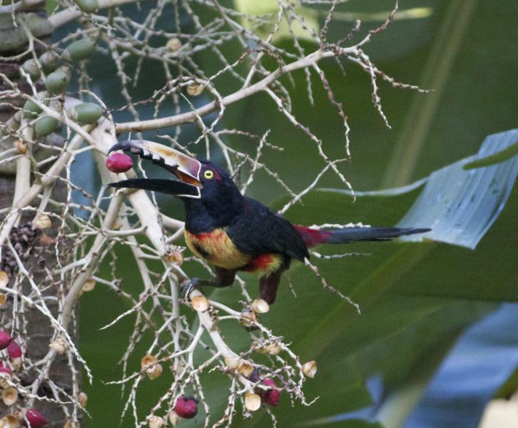 Toucanette Aracari