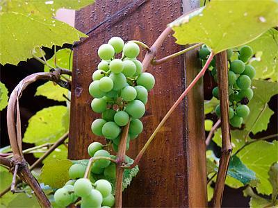Grapevines on the porch railing