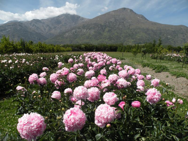 Part of the peony garden looking towards the Remarkables Mountains