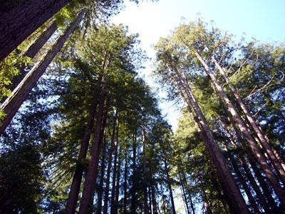Fairway Woods, More Trees. Towering Redwoods.
