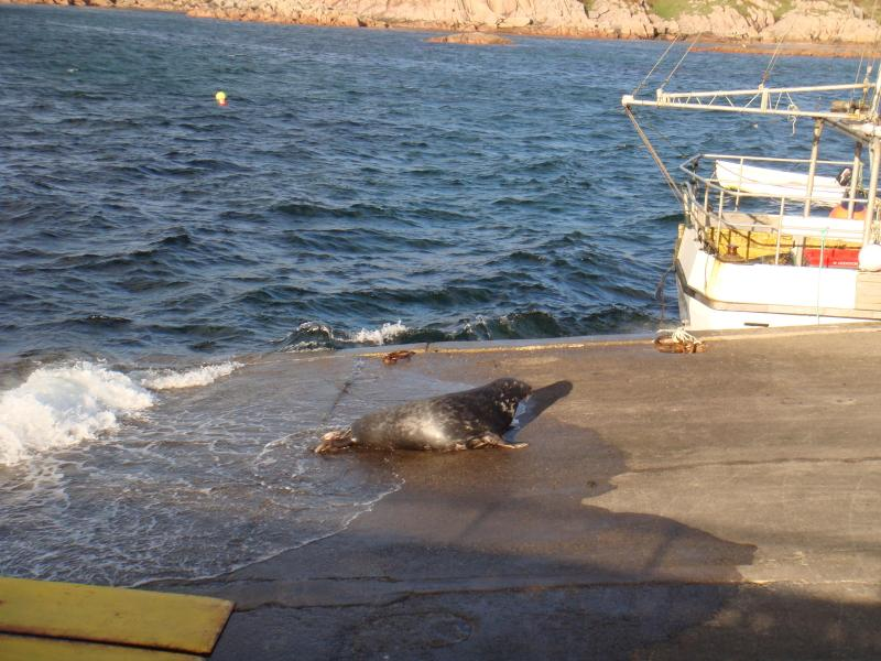 Sammy zegel op veerboot in de buurt van cottage we voeden we de vangst van vis