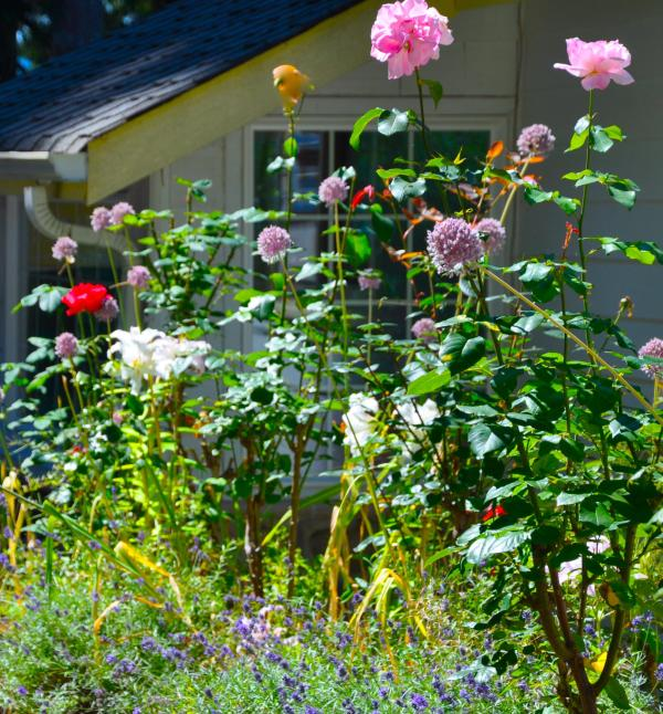 Rose zomertuin