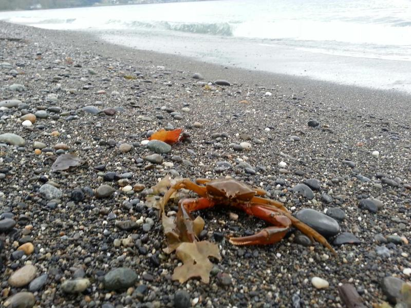 Sekiu Beach - View sea otters in the surf and other beach creatures like this Northern Kelp Crab!