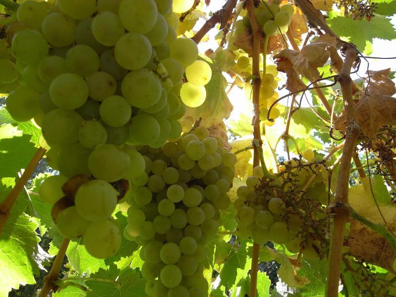 Our Own Grape Arbor
