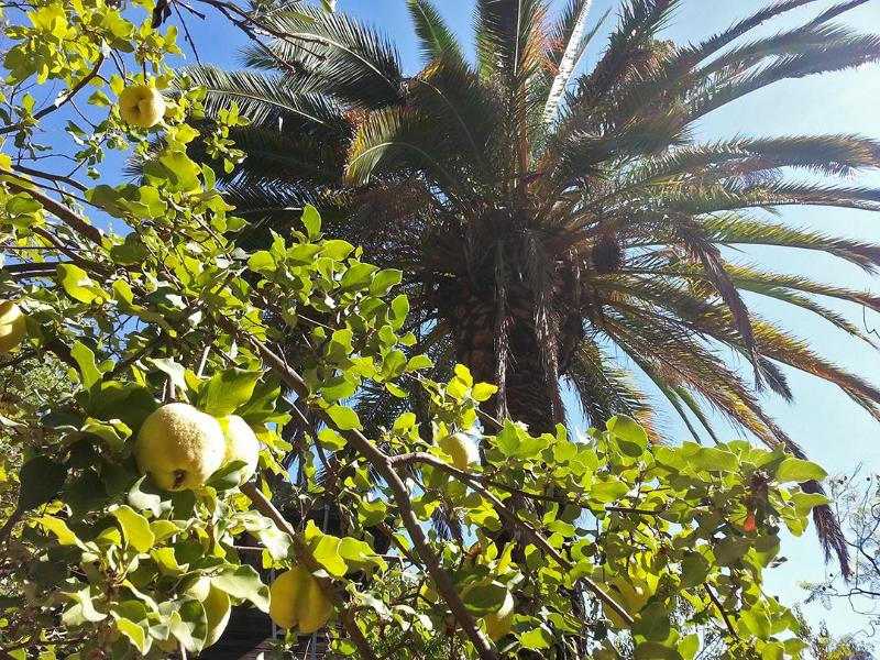Our Own Quince Tree