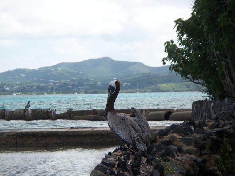 Un pélican sur notre plage à la recherche pour le petit déjeuner.  Nous aimons regarder les pélicans, grues et autres oiseaux.