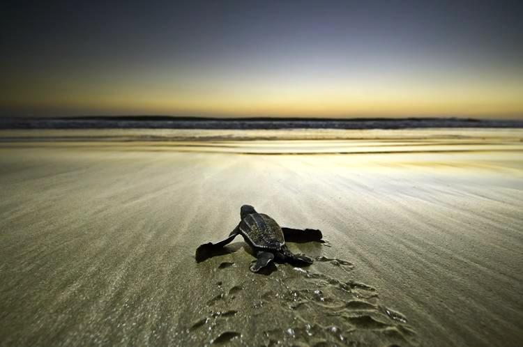 Leatherback turtle - you can see the Turtle station from our place