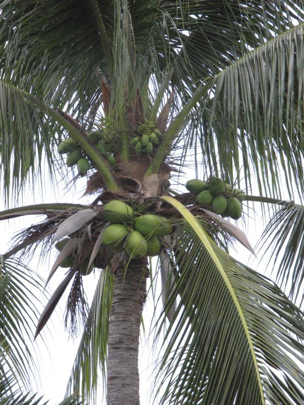 Il existe de nombreuses variétés de palmiers