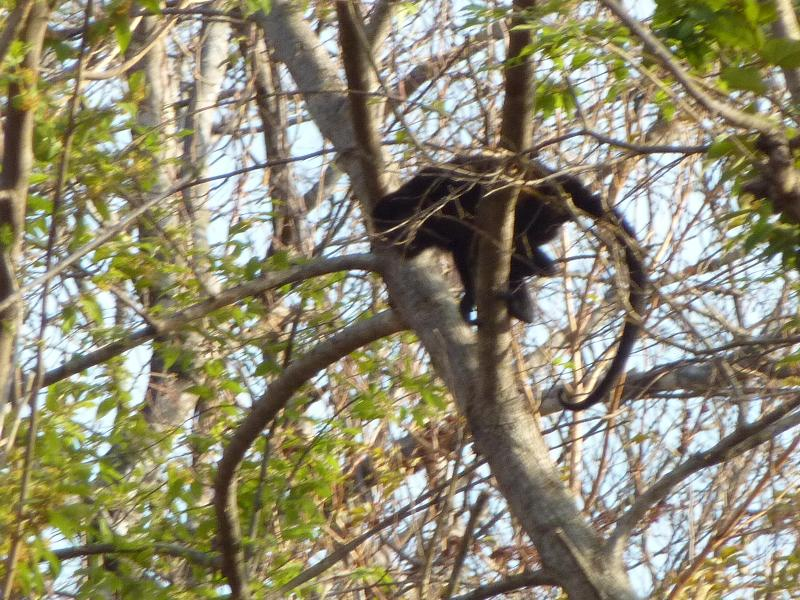 Howler Monkey climbing in the backyard