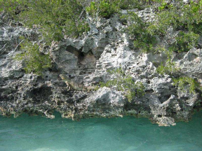 Kayak out to the cays, where you can see Iguanas.