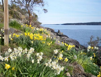 Daffodils at shore